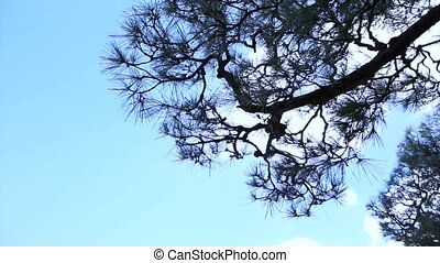Tall pine green tree blue sky