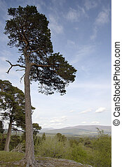 Tall Pine - Tall pine tree in the Cairngorm National Park,...