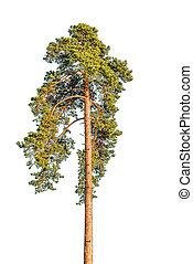 Tall pine tree.
