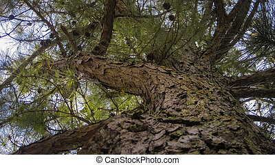 Tall pine tree with cones - Tall pine tree with rough bark ...