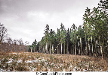 Tall pine trees forest near a meadow