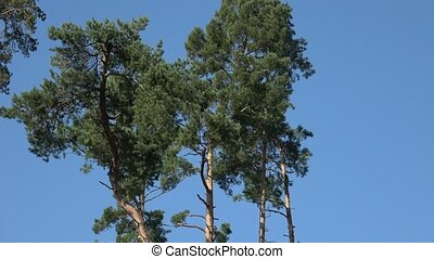 Tall pine trees found in the middle of the forest, bark beetle calamity