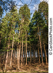 Tall pine trees in a forest