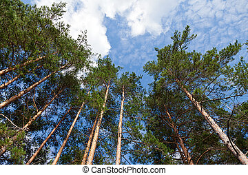 Tall pine trees in the forest against blue sky.