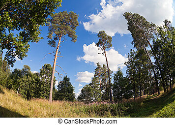 Tall pine trees in the forest against blue sky