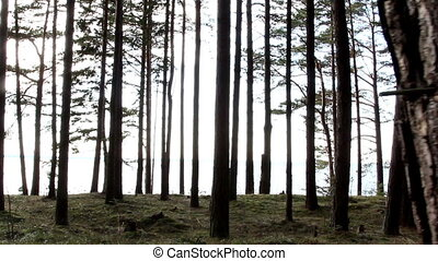 Tall pine trees in the forest - Tall pine trees with big...