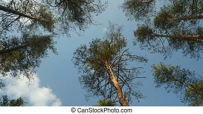 Tall pine trees overhead, clouds in the blue sky time lapse