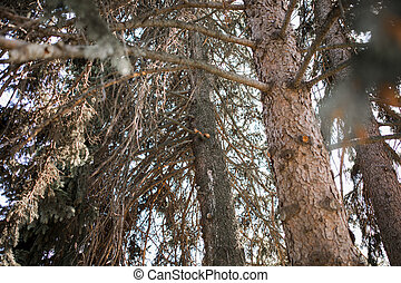 tall pine with squirrel on pine tree in the forest