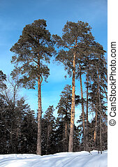 Tall pines in a winter forest