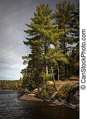 Tall pines on lake shore