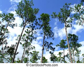 Tall Pine trees in the florida Everglades.