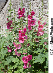 Tall pink common hollyhocks growing against a cottage wall...