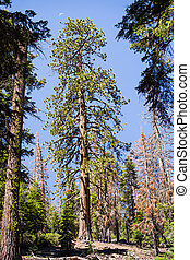 Tall Ponderosa Pine (Pinus ponderosa) tree growing in Yosemite National Park, Sierra Nevada mountains, California; waning crescent moon visible above the crown