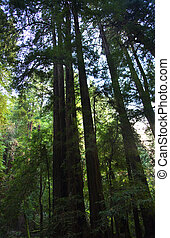 Tall Redwood Trees Muir Woods National Monument Mill Valley San Francisco California