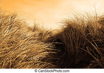 tall sand dune reeds at sunset