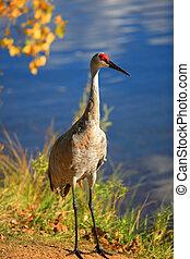 Tall Sandhill crane bird by the lake