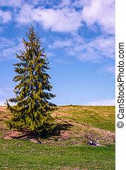 tall spruce tree on the grassy hillside. lovely springtime...