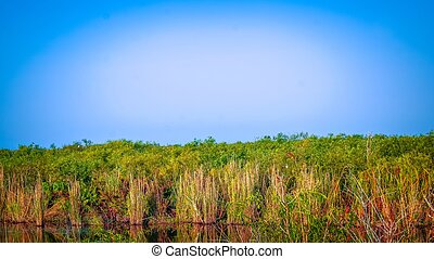 Tall swamp grass in the swamp