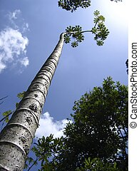 tall thin trunk central america trees perspective