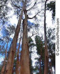 Tall Timber - Tall trees in forest