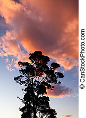 Tall tree against a dramatic sunset clouds sky - Tall tree...