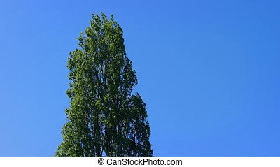 Tall Tree Sways In The Breeze - Tall tree moving in the wind...