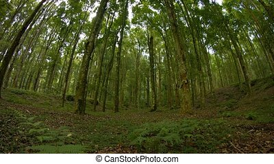Tall Trees in a Wooded Area with Fisheye Effect and Sound