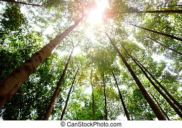 tall trees in the forest with sun light