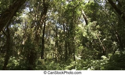 Tall trees in this forested wilderness area. Thailand - Tall...