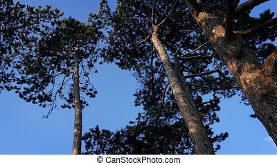 Tall Trees Move Around In Strong Wind