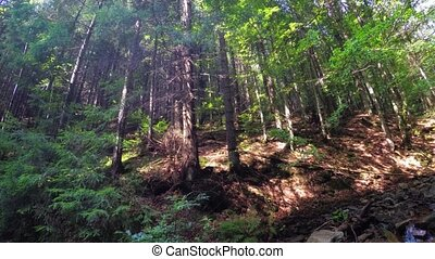 Tall Trees of a Temperate Rainforest in the Carpathian Mountains