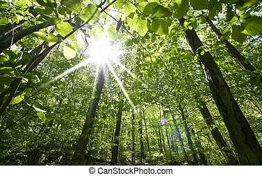 Sun rays through tall trees in Allegheny national forest Pennsylvania