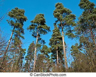 Tall trees with sky background
