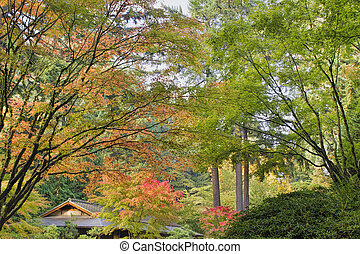 Tall Upright Japanese Maple Tree in Fall