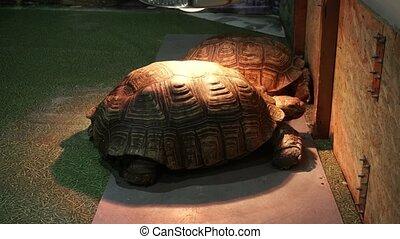 talonné, tortue, sulcata, africaine, deux, chauffage, centrochelys, sous, lamps.