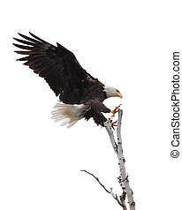 Talons Open Eagle Lands in a Tree