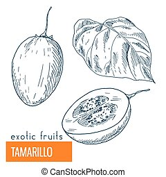 Tamarillo. Hand drawn vector illustration