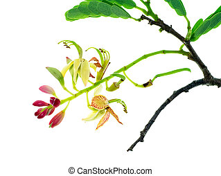 Tamarind flower with leaves on white background (Tamarindus...
