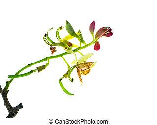 Tamarind flower with leaves - Tamarind flower on white...