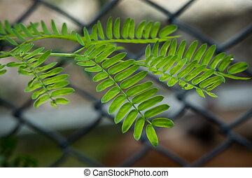 Tamarind leave? - Tamarind leaves on the iron mesh black ...