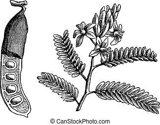 Tamarind (Tamarindus indica), vintage engraved illustration. tamarind leaf and seed on white. Trousset encyclopedia (1886 - 1891).