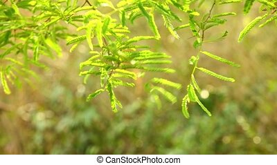 Tamarind Tree Foliage Tropical Evergreen - Vibrant green...