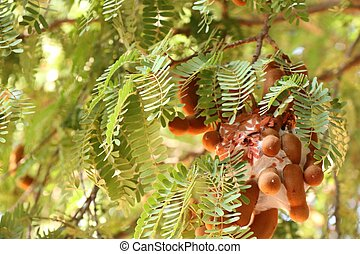tamarind tree in tropical