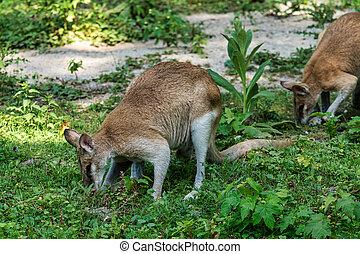 também, arenoso, ágil, agilis, wallaby, macropus, sabido, wallaby
