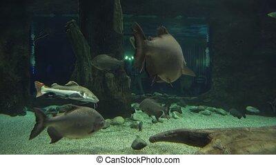 Tambaqui in freshwater aquarium stock footage video -...