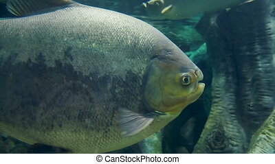 Tambaqui, or Colossoma macropomum, or black pacu, black-finned pacu, giant pacu, cachama, gamitana. Freshwater fish.