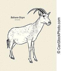 también, sáhara, vector., oryx, cimitarra, o, oryx, scimitar-horned, bosquejo, conocido, mano, empate