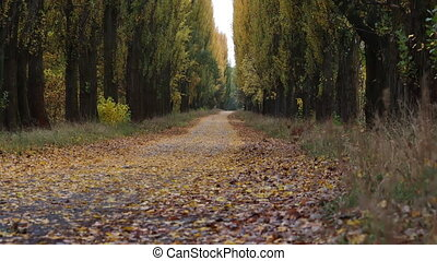 tame leps of the autumn path between tall poplars, beauty of nature
