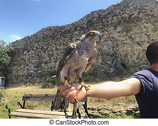 Tamed hawk sitting on the master's hand. Summer day in old Tbilisi