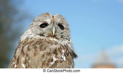 Tamed owl in the city. Close-up - Tamed owl in the city...